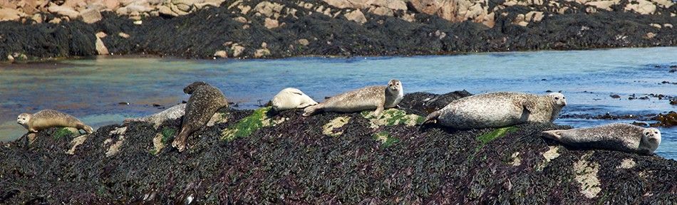 Seals on rocks near Fionnphort